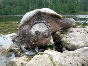 Schnappschiildkröte