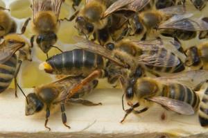 Bienenpräsidentin